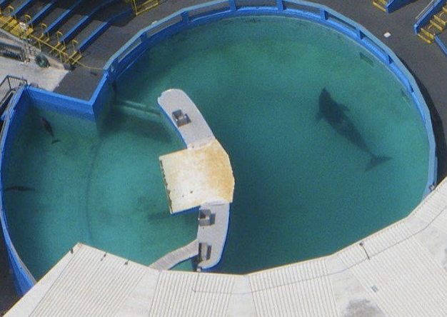 What captivity looks like: If she were free, she'd be swimming 75-100 miles a day....