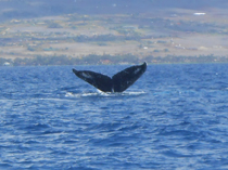 The humpback in the story is on the east coast of the USA; this one, above, is off Maui last winter...photo by Ian Byington.