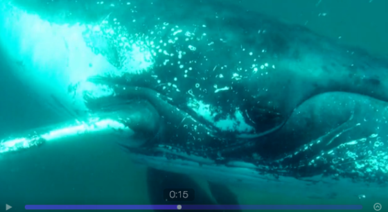 The humpback, right before the fin-slap...from Chris Coates' video.