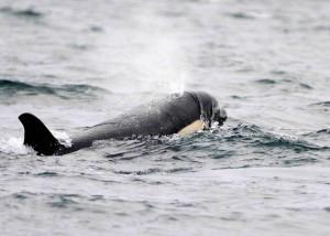 Female killer whale, draped in kelp.....photo by Carl Safina.