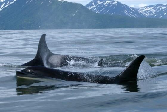 russian_orcas2_2012_tatiana_ivkovich_ferop