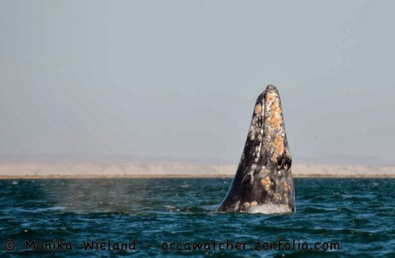 Gray whale in Baja this weekend - photo by Monika Wieland (orcawatcher.com)