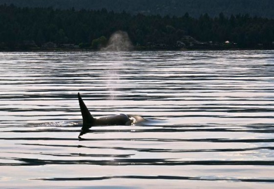 A killer whale's breath, in the late afternoon sun near San Juan Island. Jpod has returned this past week, including 103-year-old Granny (next time you got to Sea World & they say orcas live to be around 30 years old, you can tell them they do better in the open sea, swimming 75 miles a day, not 75 feet in a cement pond.) Photo (thanks!) by Jim Maya.