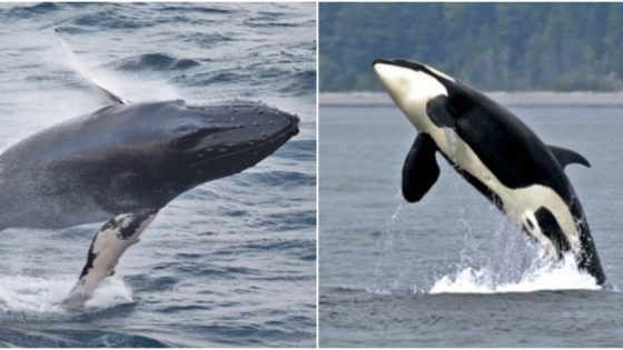 A new study in the Marine Mammal Science journal has found that humpback whales (left) will defend other species from orca (right) attacks. (First image: Joe Kearney; second image: Ken Balcomb/Explore)